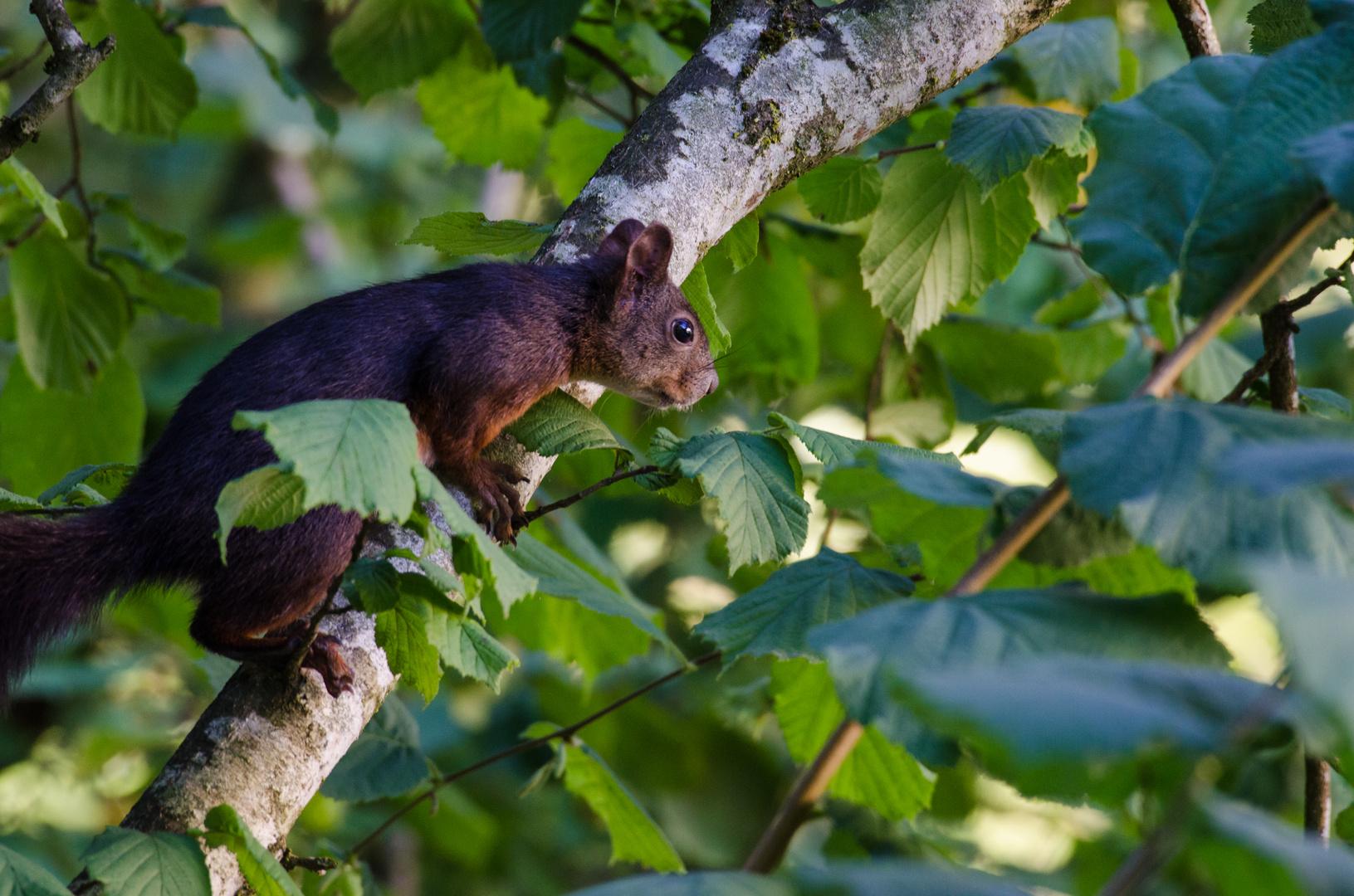 Eichhörnchen 1...