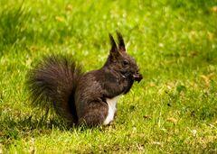 Eichhörnchen (1)
