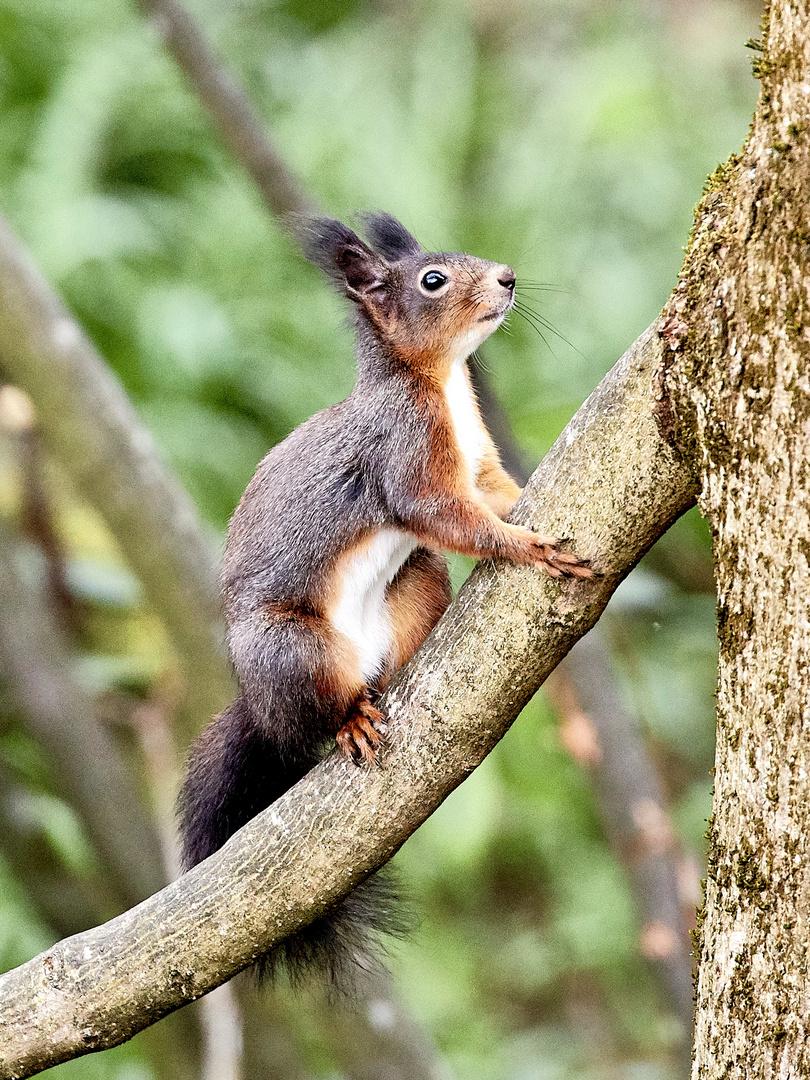 Eichhörnchen Auf österreichisch