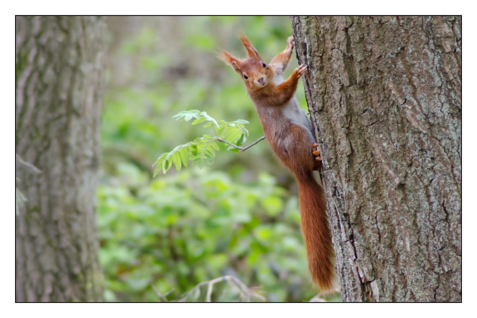 Eichhörnchen ...