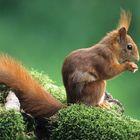 -- Eichhörnchen --