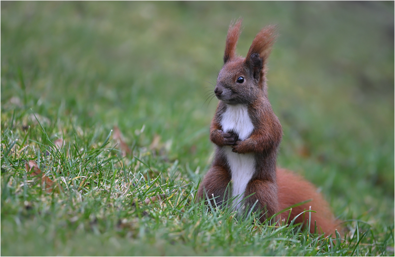 eichhörnchen foto & bild   tiere, wildlife, säugetiere