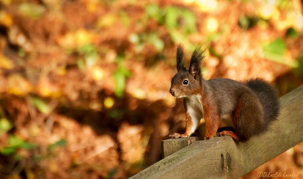 * Eichhörnchen*