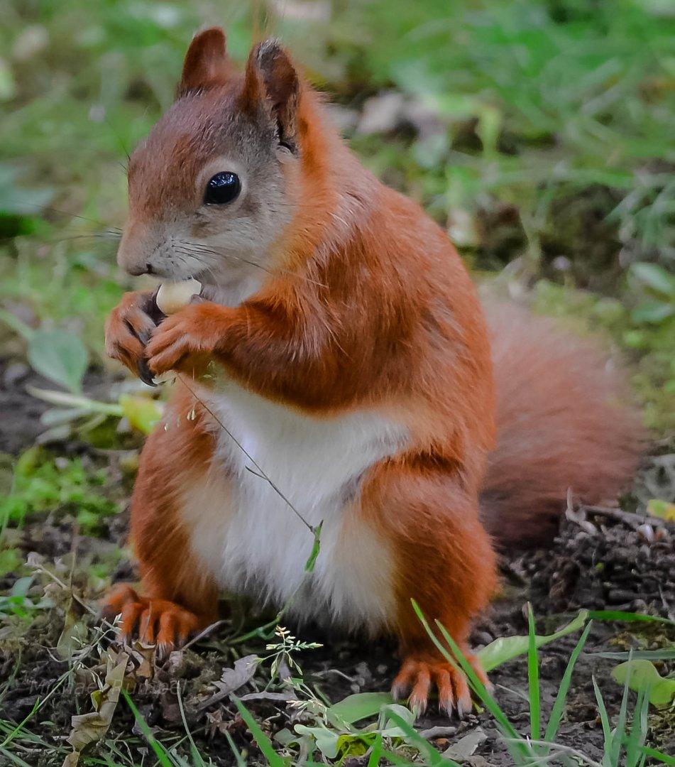 eichhörnchen foto  bild  eichhörnchen natur tiere