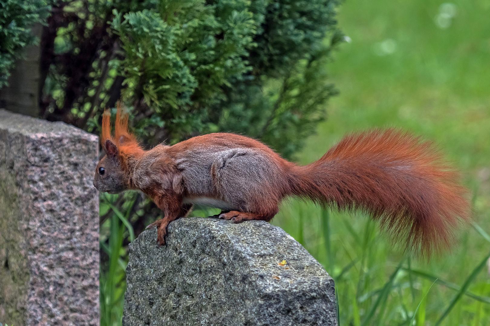 Eichhörnchen als Friedhofsbesucher