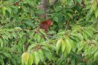 Eichhörnchen als Kirschendieb entlarvt