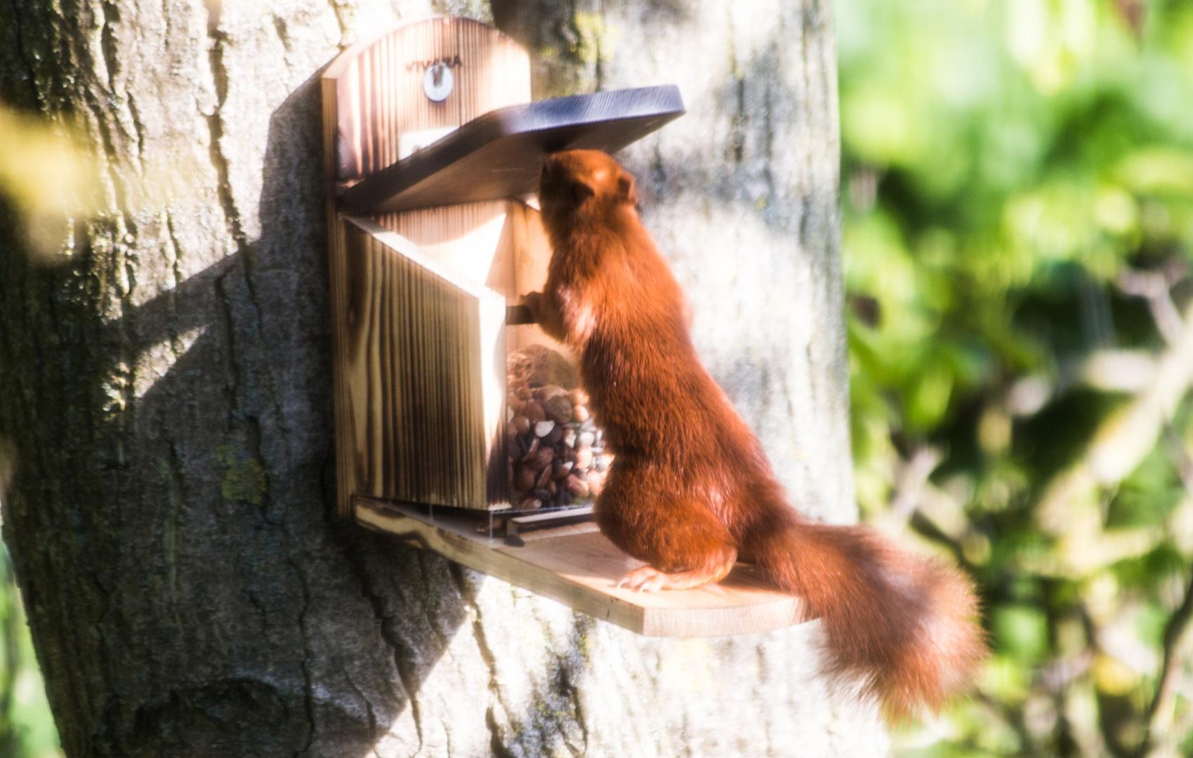 eichh rnchen am futterkasten foto bild tiere wildlife wildlife sonstige tiere bilder auf. Black Bedroom Furniture Sets. Home Design Ideas