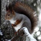 Eichhörnchen am Polarkreis