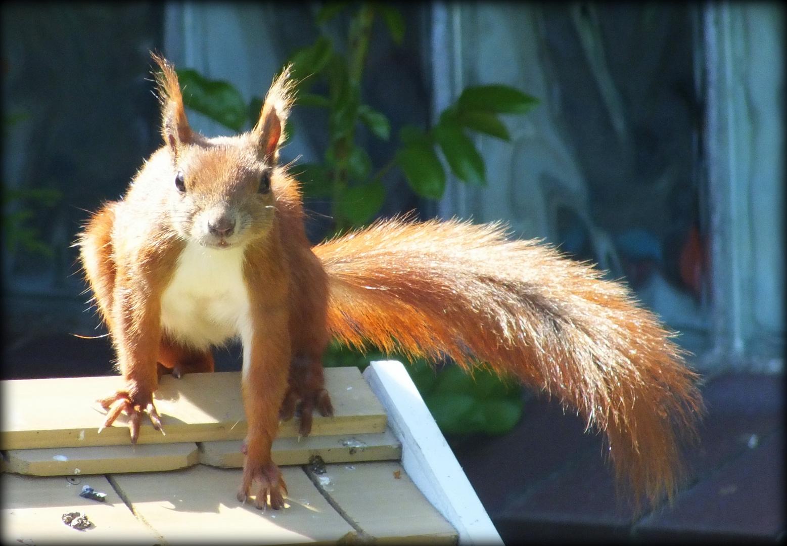 Eichhörnchen auf dem Vogelhaus in Tornesch