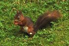 Eichhörnchen auf der Futtersuche