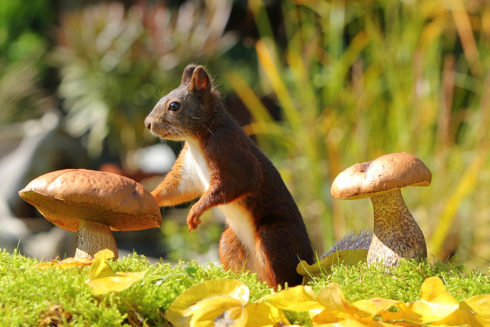 eichhörnchen auf futtersuche foto & bild   tiere, pflanzen