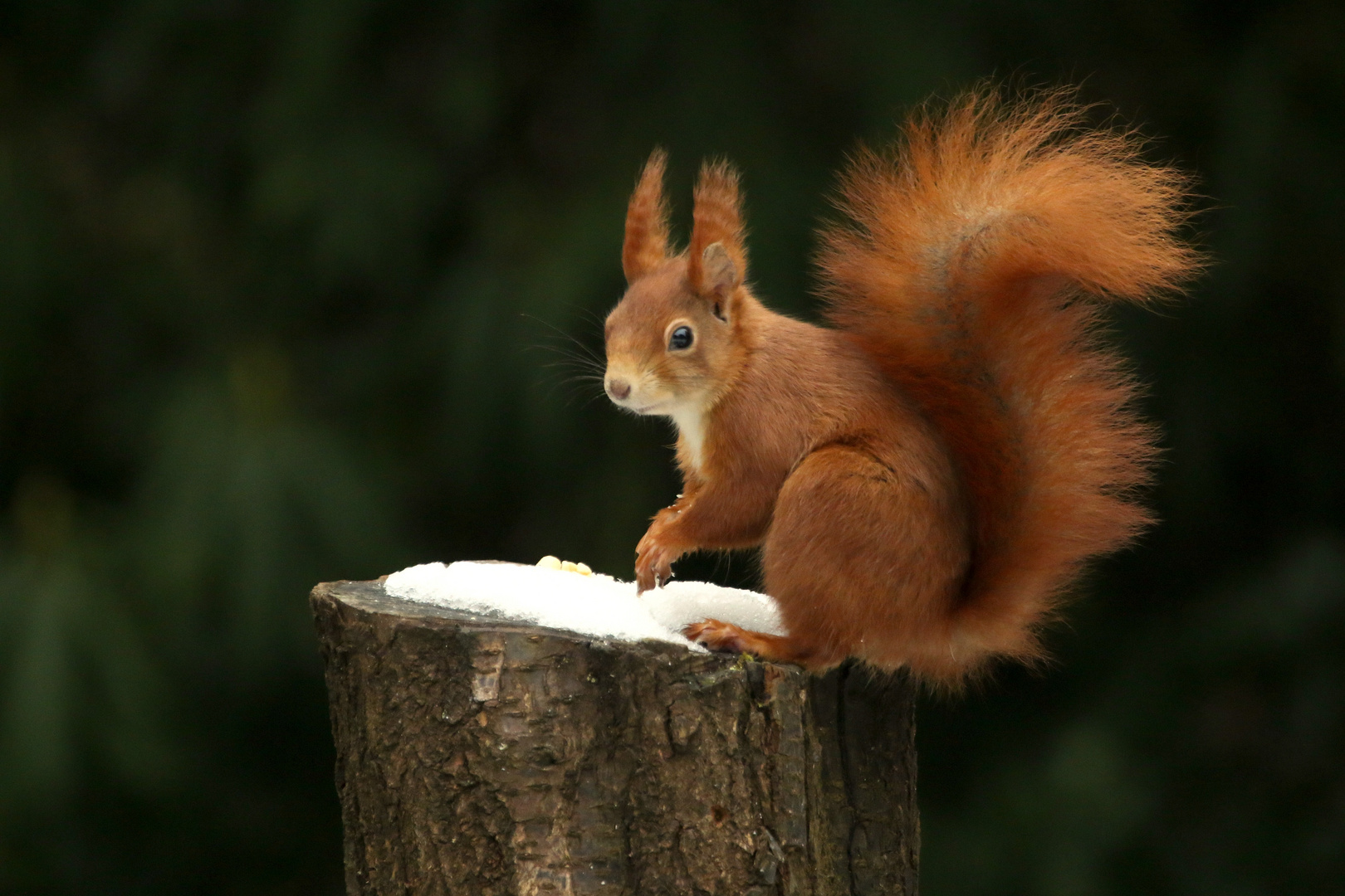 Eichhornchen Auf Stamm Foto Bild Nature Winter Eichhornchen