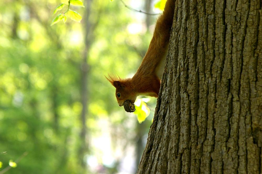 Eichhörnchen bei erfogreicher Futtersuche