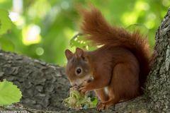 Eichhörnchen beim Futtern.
