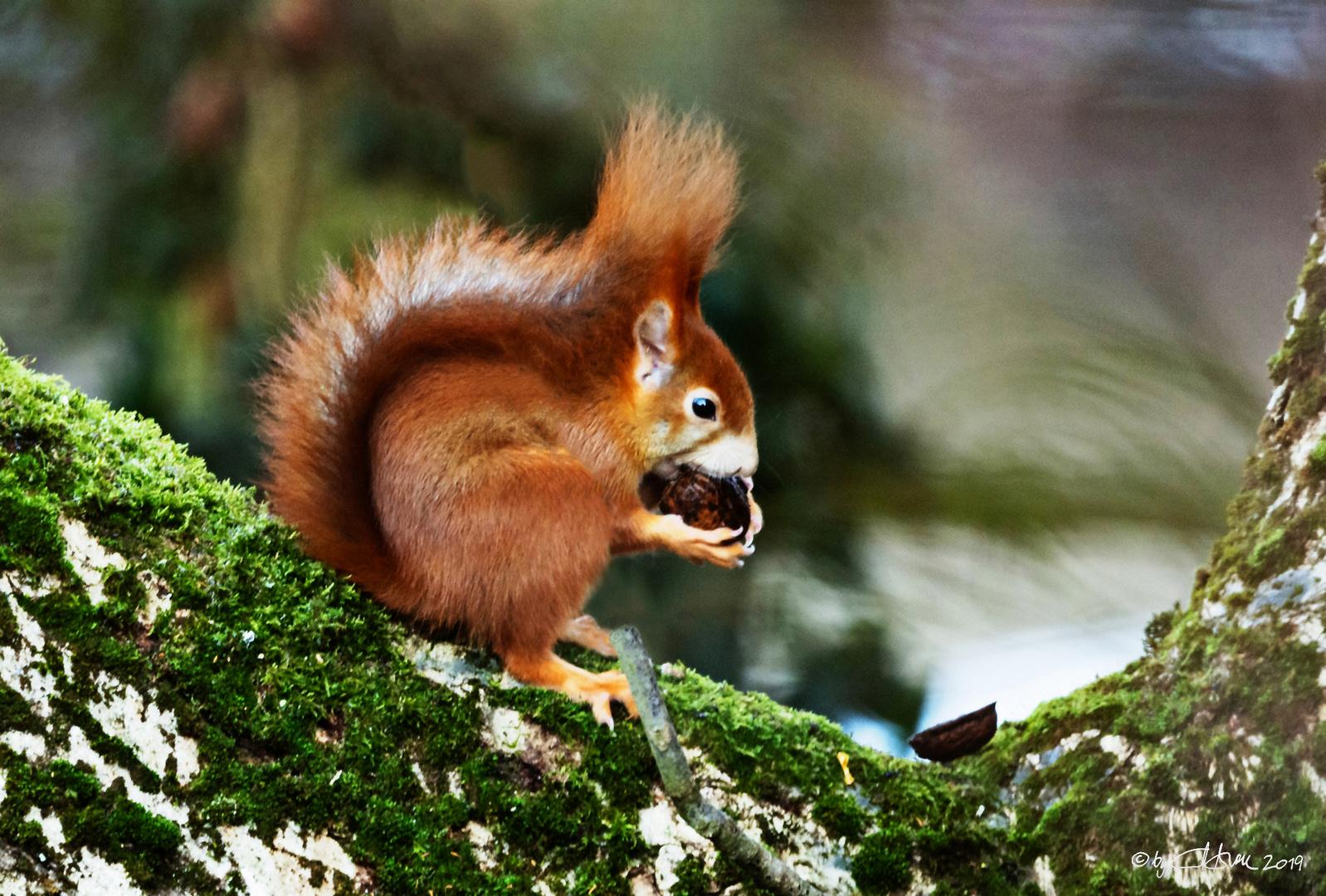 Eichhörnchen beim Knacken von Walnüssen