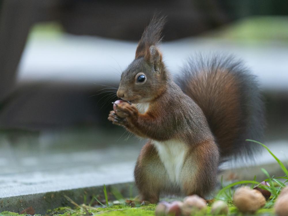 Eichhörnchen Nüsse