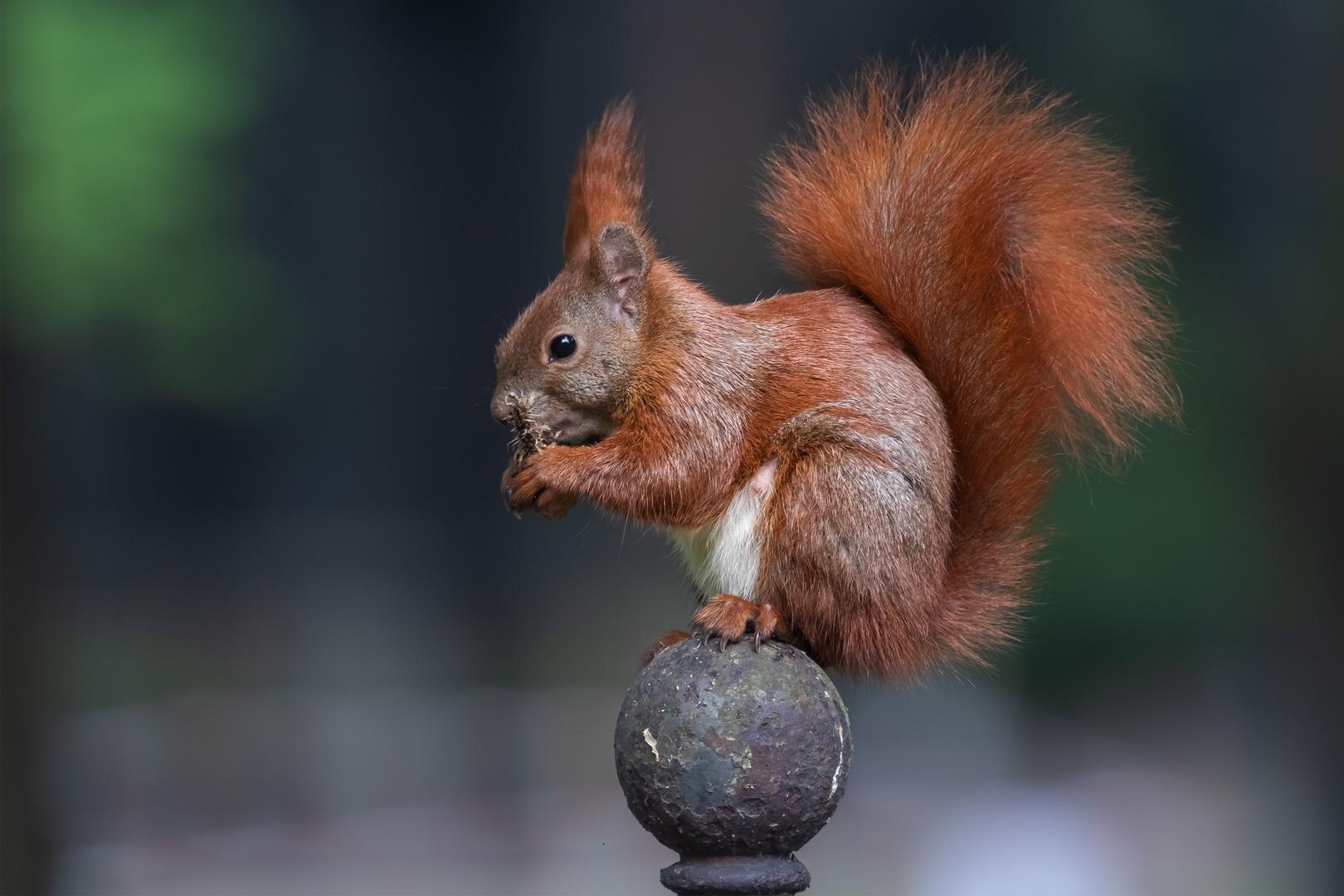 Eichhörnchen beim Speisen