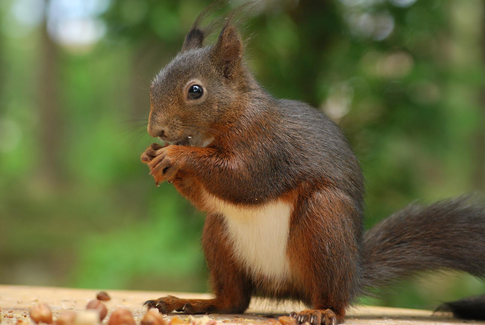 Eichhörnchen beim Stärken seiner Kräfte