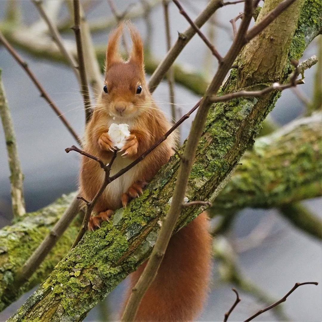 eichhörnchen foto  bild  tiere wildlife säugetiere