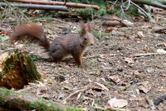 Eichhörnchen - Das Herz an der richtigen Stelle?