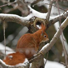 Eichhörnchen, das X. ...