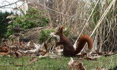 Eichhörnchen: Den Mund ziemlich voll genommen .....