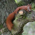 Eichhörnchen die erste