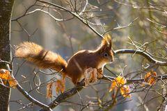 Eichhörnchen, die Zweite