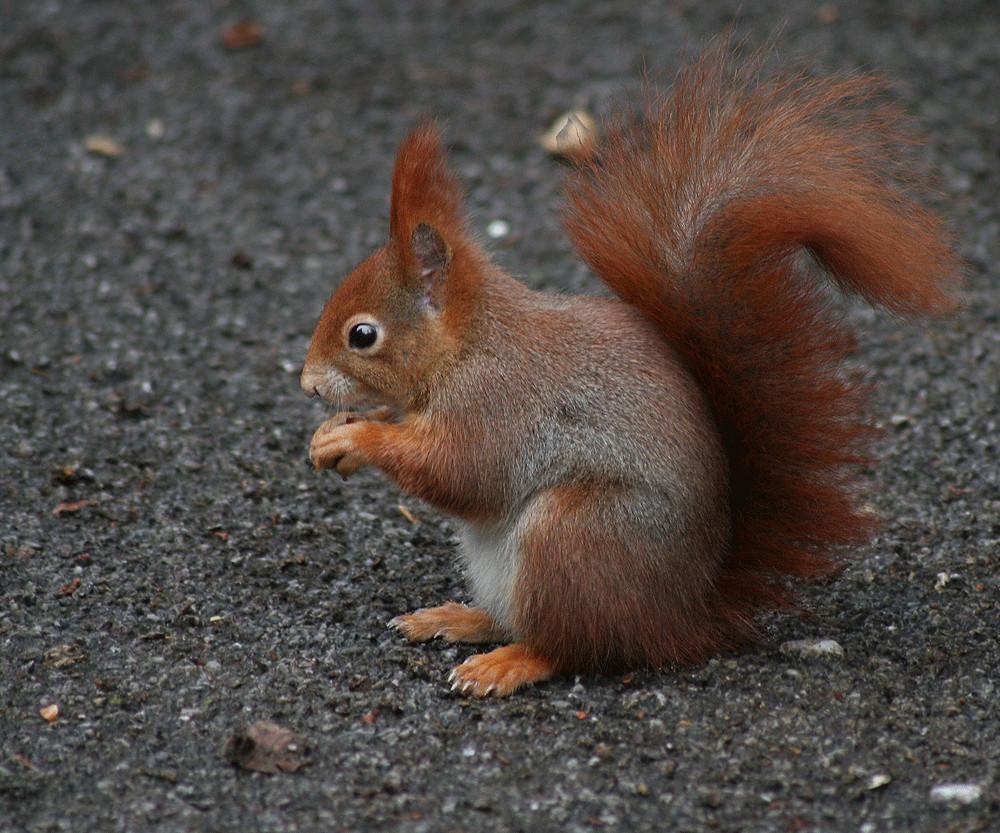 Eichhörnchen - Ein Versuch