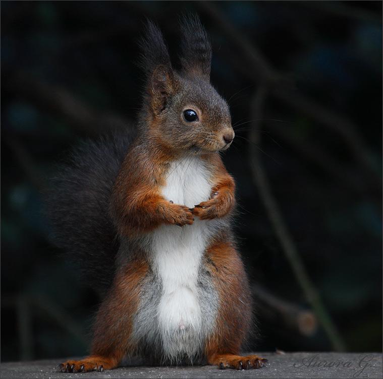 """Eichhörnchen """"Erectus Hofgartenensis""""- 2"""
