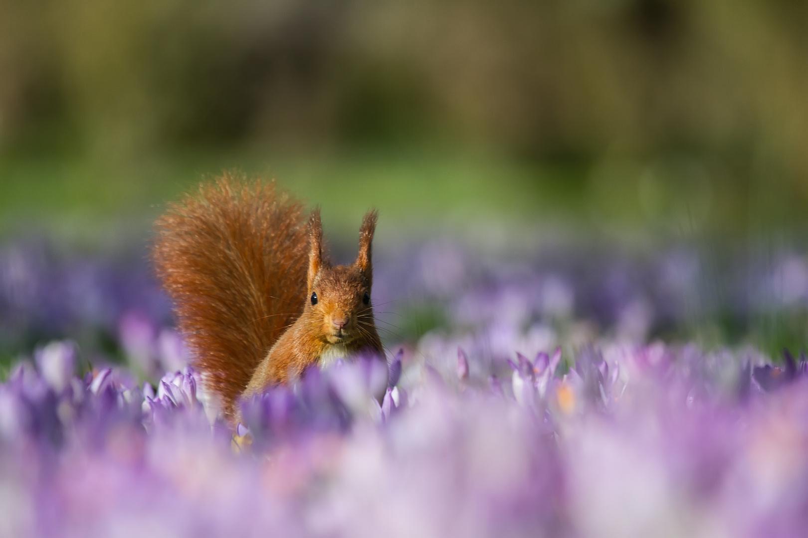 """eichhörnchen fips """"ich liebe die farbe lila"""" foto  bild"""