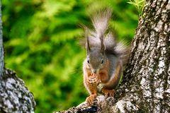Eichhörnchen   für  Alice