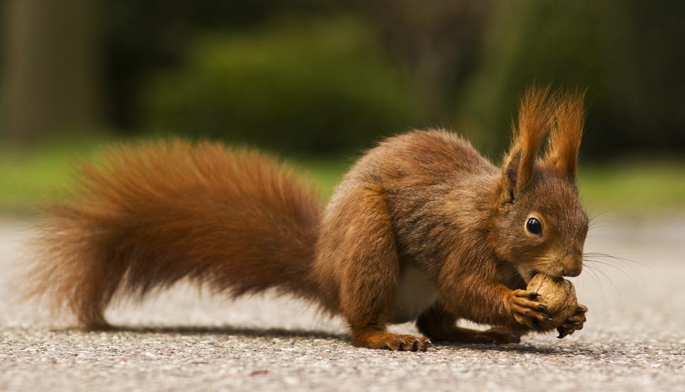 Eichhörnchen Fressen