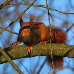 Eichhörnchen (I)