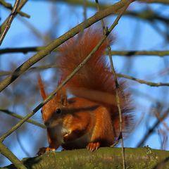 Eichhörnchen (II)