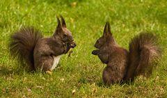 Eichhörnchen im Burggarten in Graz