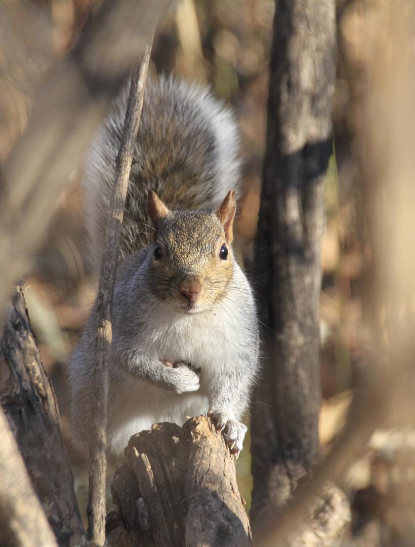 Eichhörnchen im Central Park (IMG_3750)