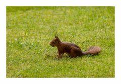 Eichhörnchen im Garten (1 von 1)