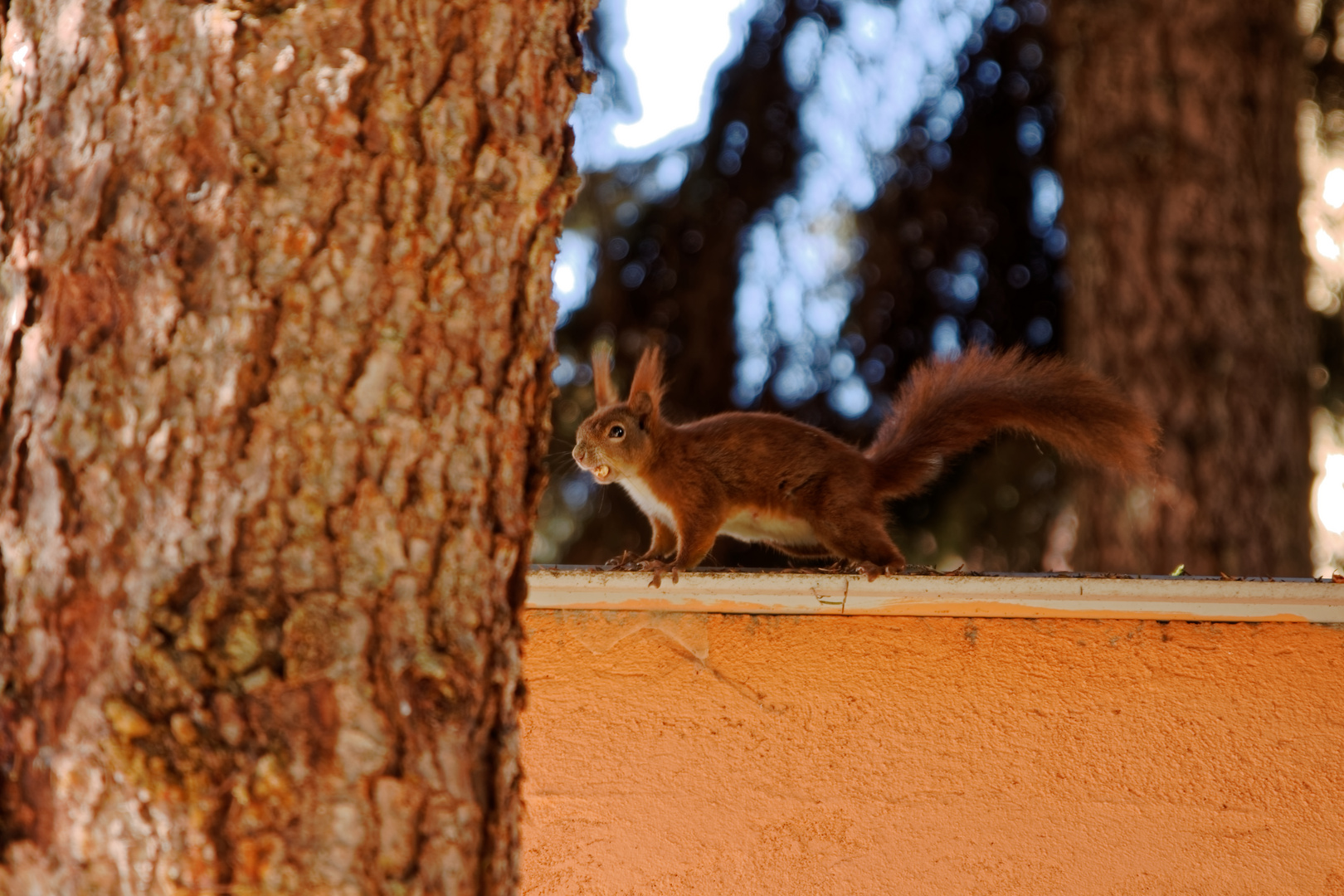 Eichhörnchen Im Garten : eichh rnchen im garten foto bild eichh rnchen natur ~ Watch28wear.com Haus und Dekorationen