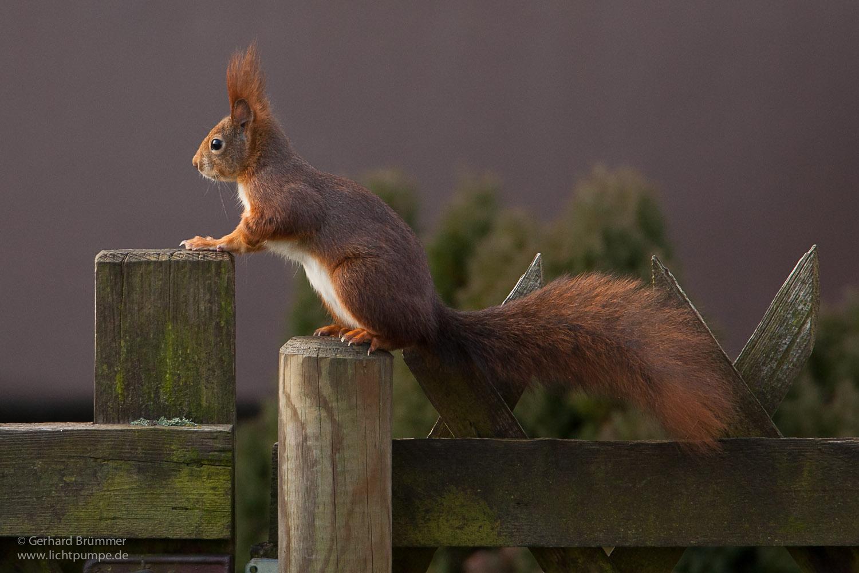 Eichhörnchen Im Garten : eichh rnchen im garten foto bild tiere lichtpumpe ~ Watch28wear.com Haus und Dekorationen