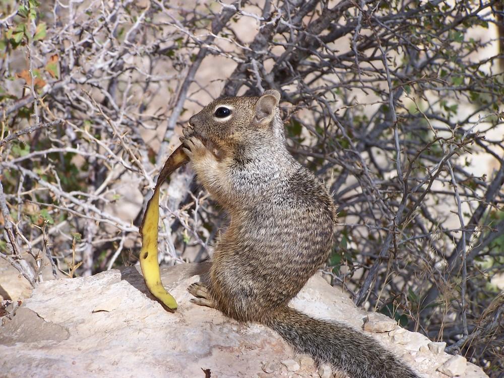 Eichhörnchen im Grand Canyon