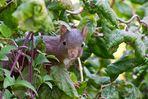 Eichhörnchen im Haselnussstrauch