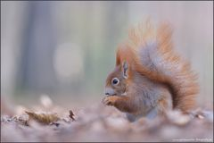 Eichhörnchen im Herbstlaub II