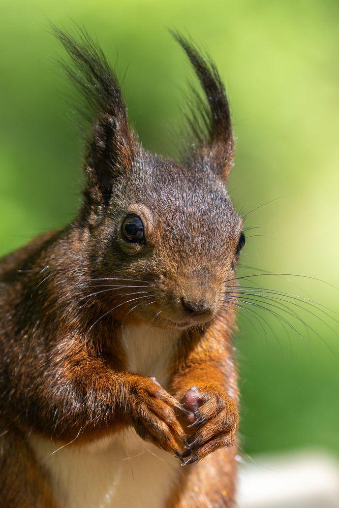 eichhörnchen im portrait foto & bild   canon, eichhörnchen