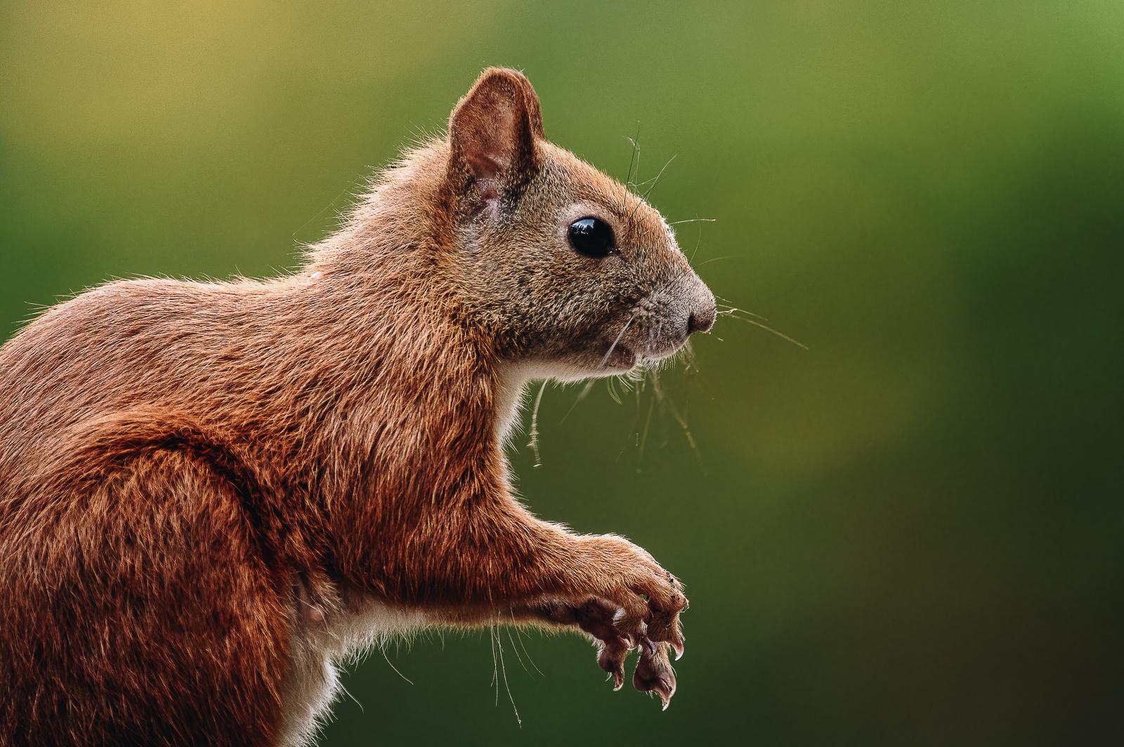 Eichhörnchen im Profil
