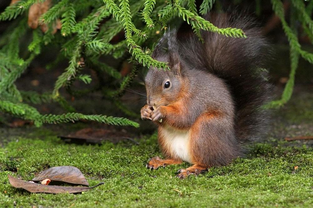 Eichhörnchen im Rombergpark Dortmund