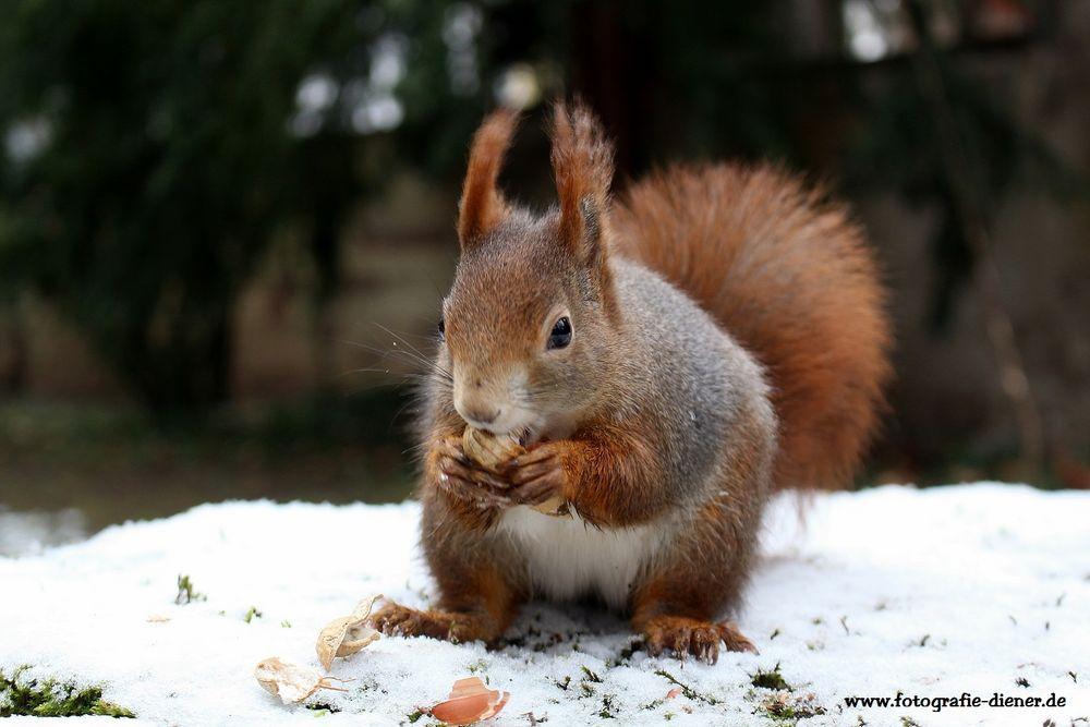 eichhörnchen im schnee foto & bild   tiere, wildlife