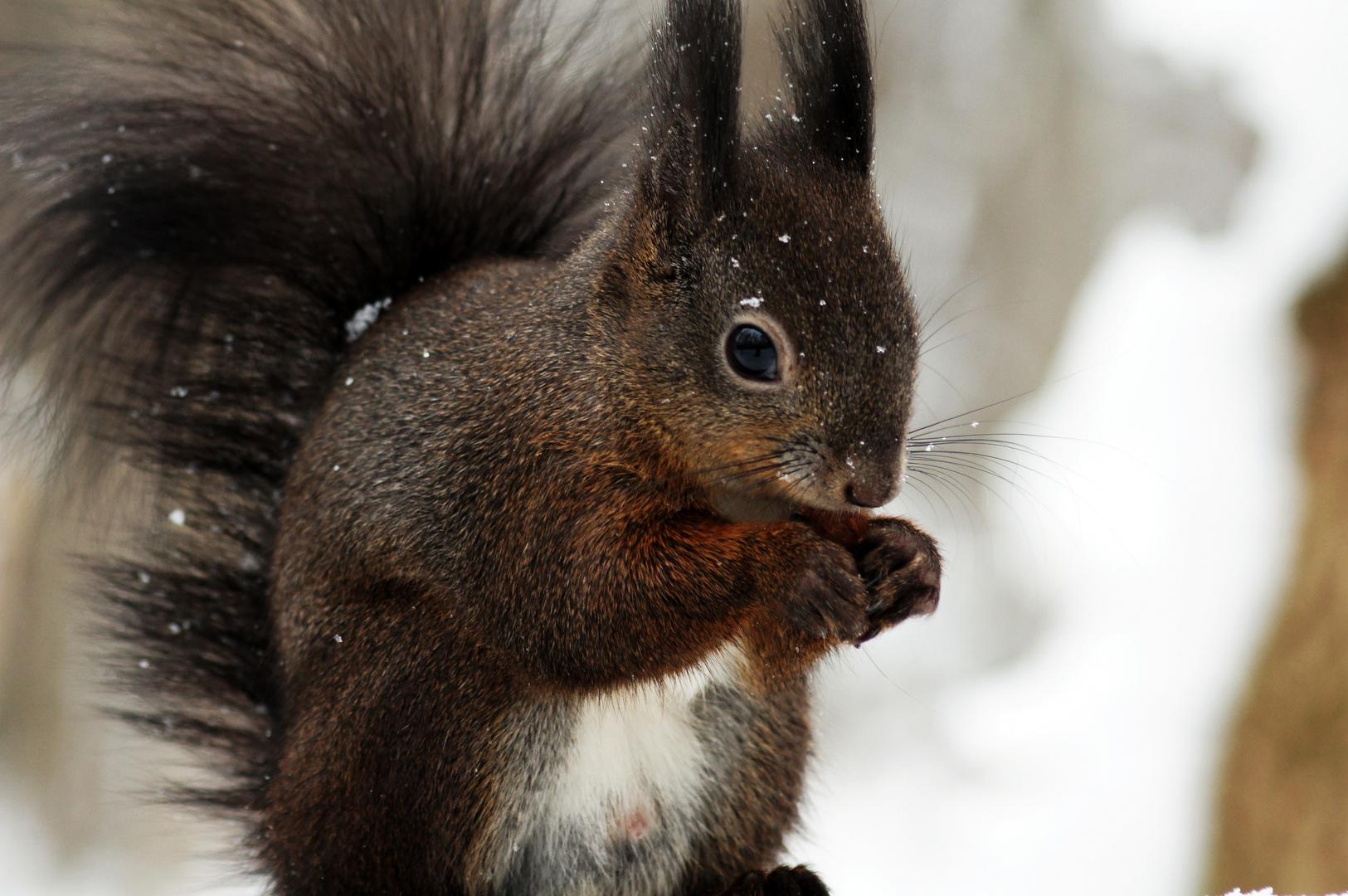 eichh rnchen im winter foto bild tiere wildlife. Black Bedroom Furniture Sets. Home Design Ideas