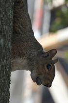 Eichhörnchen in Brooklyn