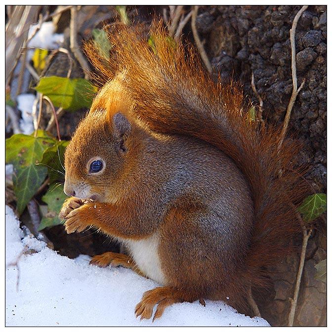 Eichhörnchen in der Abendsonne